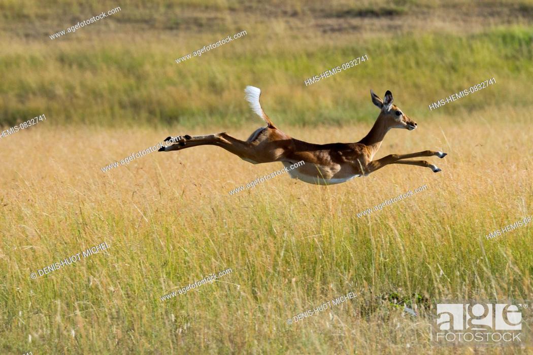 Imagen: Kenya, Masai Mara National Reserve, Impala (Aepyceros melampus), running and jumping.