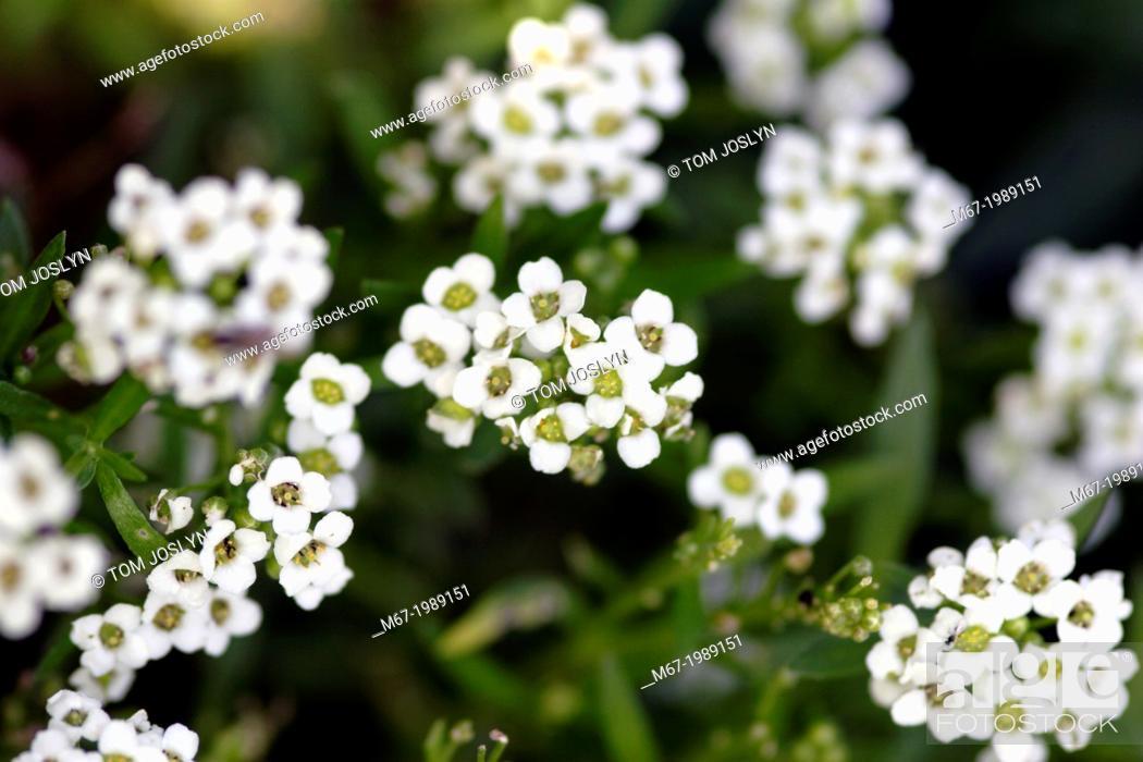Stock Photo: Sweet Alyssum (Lobularia maritima) flowers close up, England, UK.