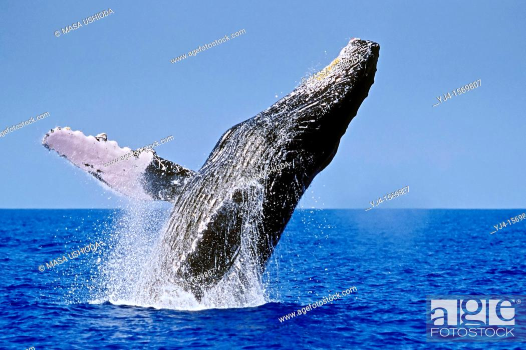 Stock Photo: humpback whale, Megaptera novaeangliae, breaching, Hawaii, USA, Pacific Ocean.