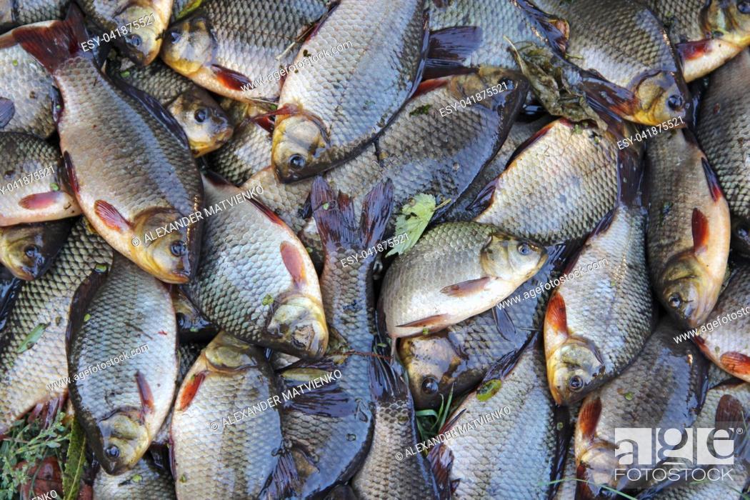 Imagen: Caught crucians. Successful fishing. A lot of crucian carp Carassius carassius. Freshly caught river fish. Caught fishes after lucky fishing.