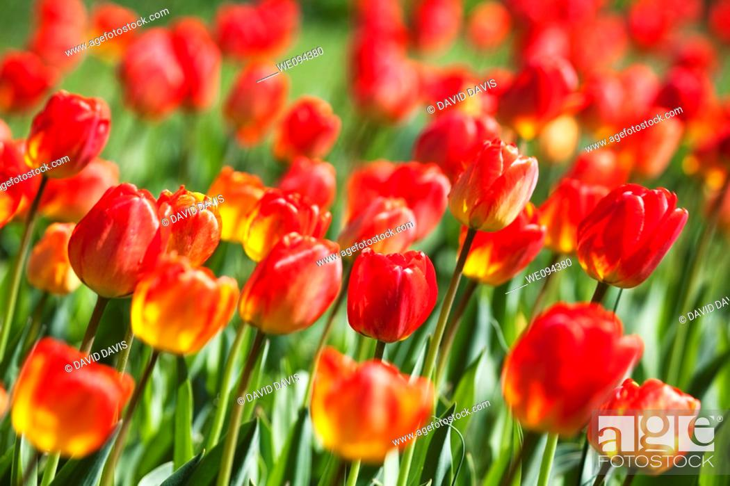 Stock Photo: A beautiful Spring time garden of red tulips.
