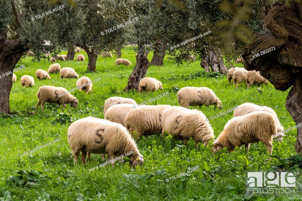 Stock Photo: Sheep grazing, Alqueria d Avall, Bunyola, region of the Serra de Tramuntana, Mallorca, Spain.