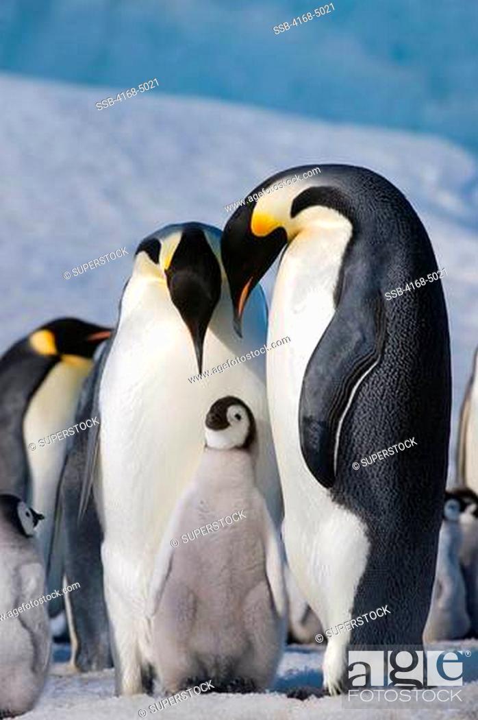Stock Photo: antarctica, weddell sea, snow hill island, emperor penguins aptenodytes forsteri, colony, couple with chick.