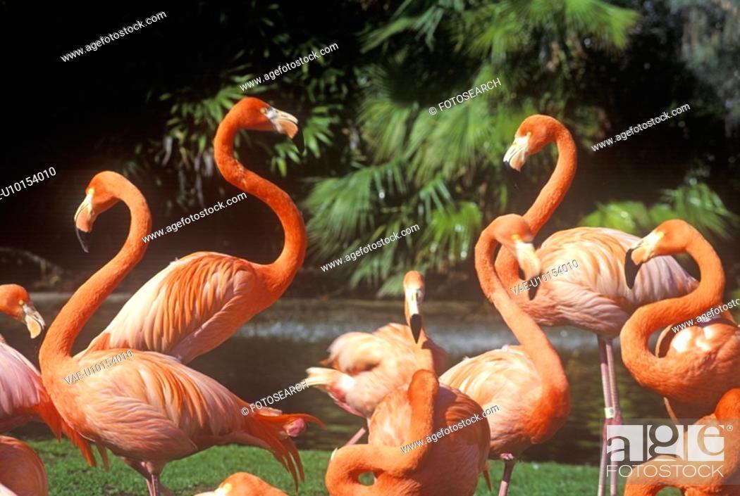 Stock Photo: Pink Flamingoes.
