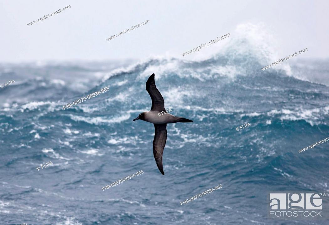 Imagen: Light-mantled Sooty Albatross (Phoebetria palpebrata) adult, in flight over rough sea, Drake Passage, November.