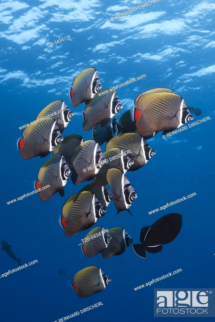 Stock Photo: Shoal Redtail Butterfyfish, Chaetodon collare, Felidhu Atoll, Indian Ocean, Maldives.
