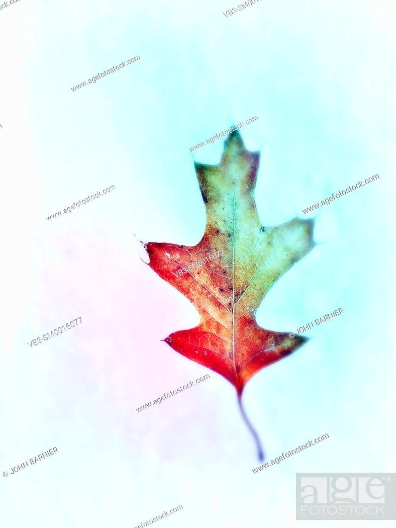Stock Photo: Pin oak leaf on snow.