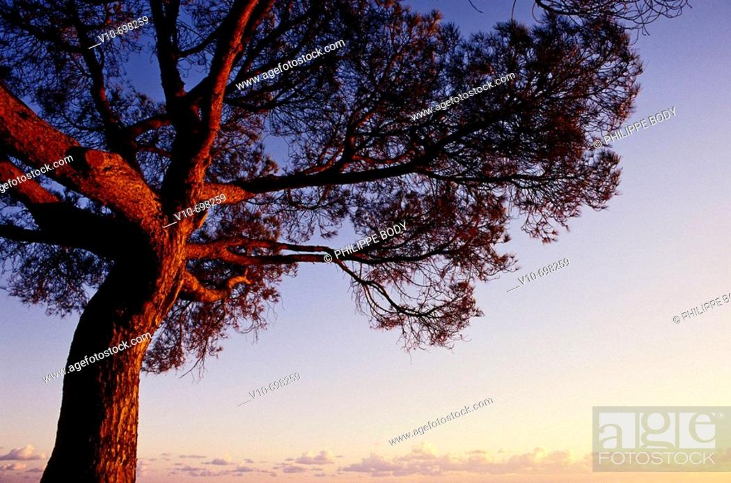 Stock Photo: Red pine, Spain.