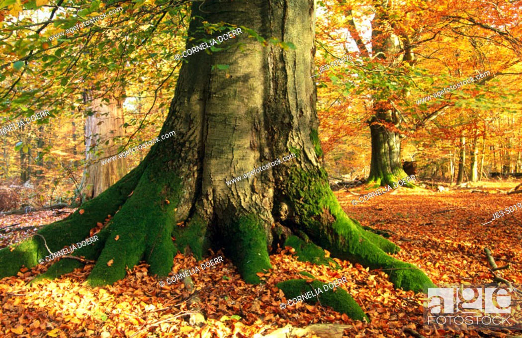 Stock Photo: Beech tree, forest. Hessen, Germany.