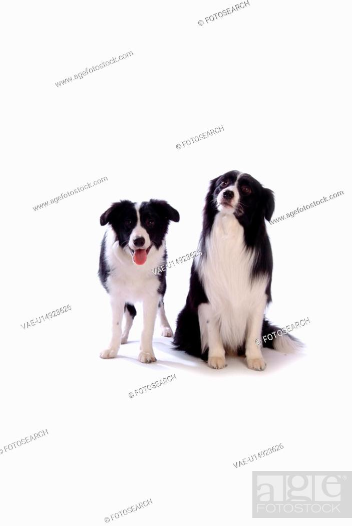 Stock Photo: canine, dog, close up, domestic animal, pet, companion, border collie.