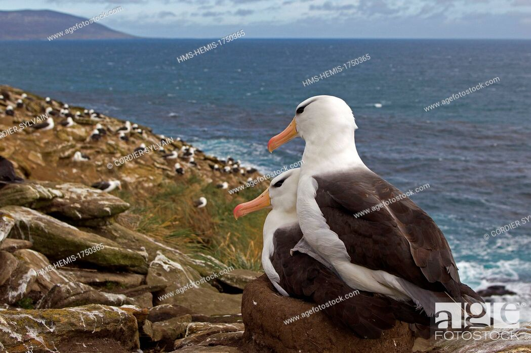 Stock Photo: Falkland Islands, Saunders island, Black browed Albatross (Thalassarche melanophrys), on the nest.