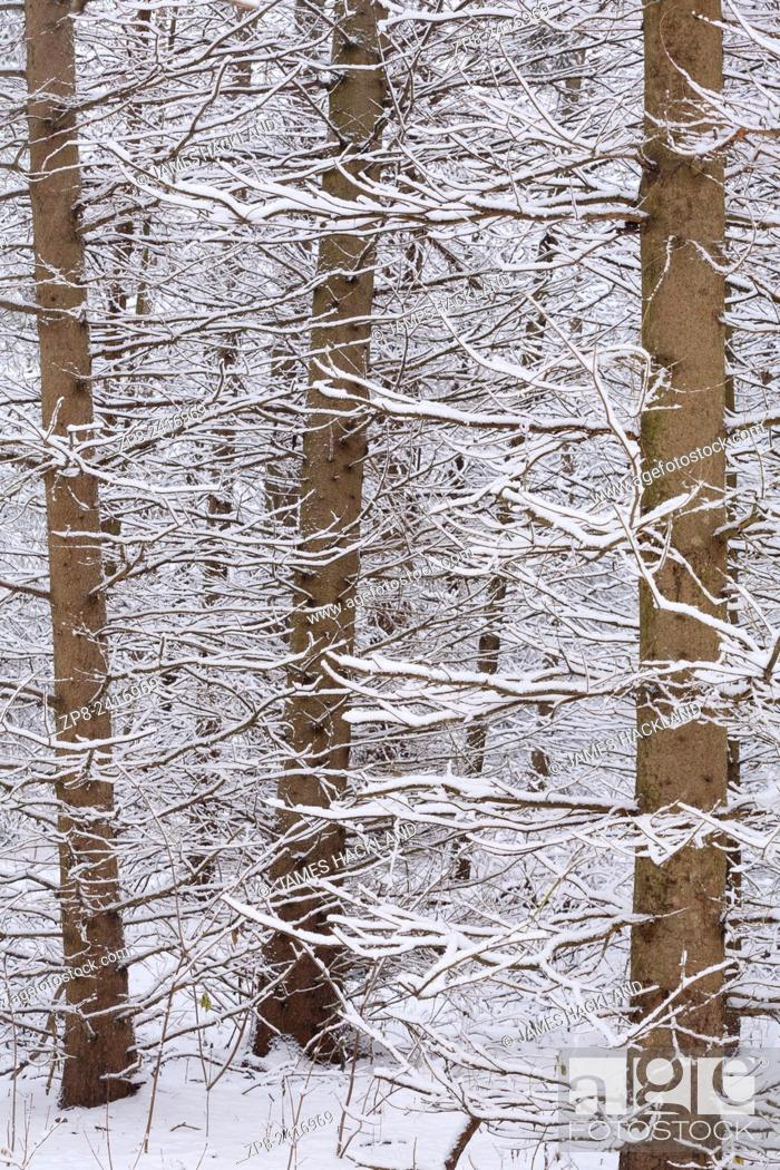 Stock Photo: An abstract detail shot of snow covered pine trees in East Gwillimbury, Ontario, Canada.