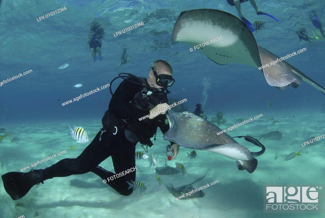 Stock Photo: Diver with Sting rays, Stingray City Sandbar, Grand Cayman Island, Cayman Islands, Caribbean.
