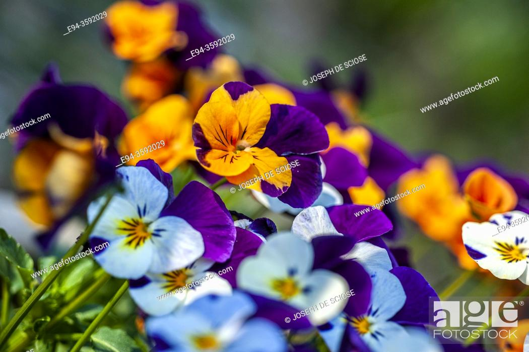 Stock Photo: Pansy flowers in the springtime.