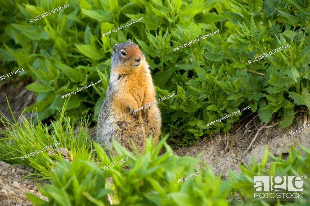Stock Photo: Columbian ground squirrel at Logan Pass, Glacier National Park, Montana.