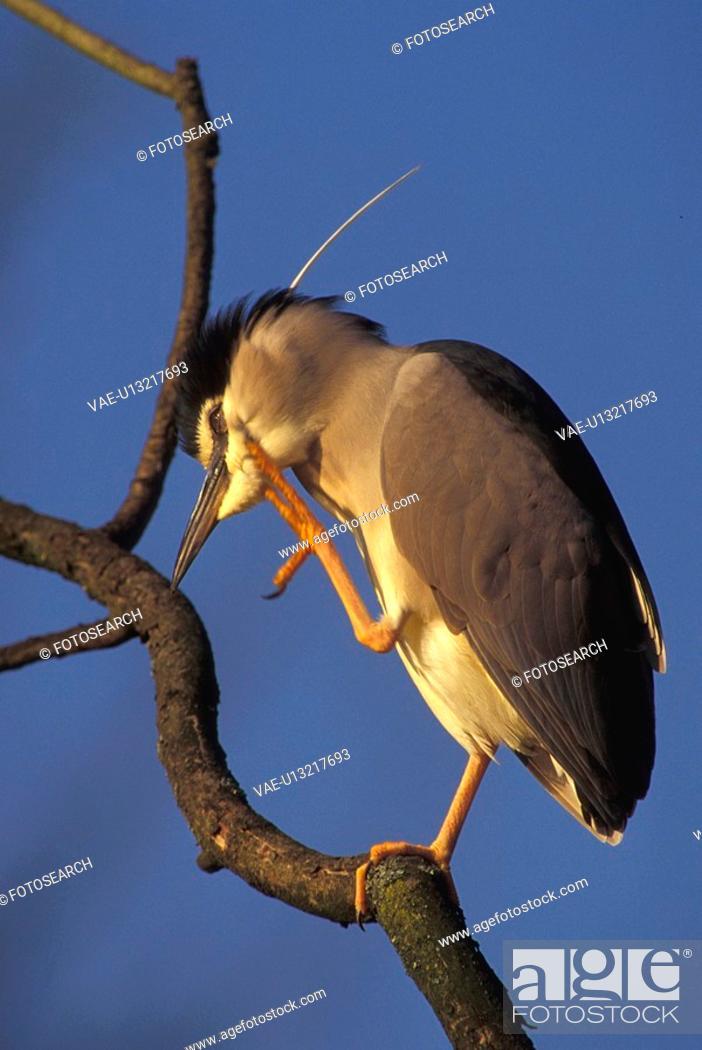 Stock Photo: federn, abenddaemmerung, animals, ardeidae, aves.