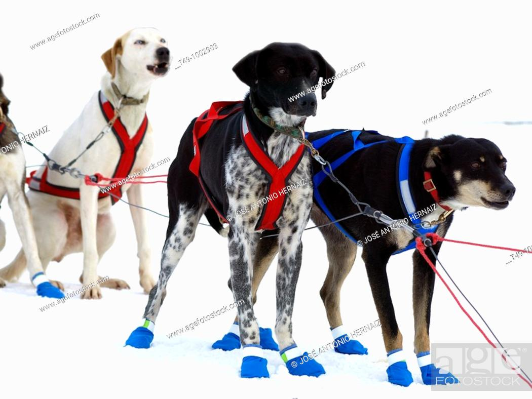 Stock Photo: Sled dogs.