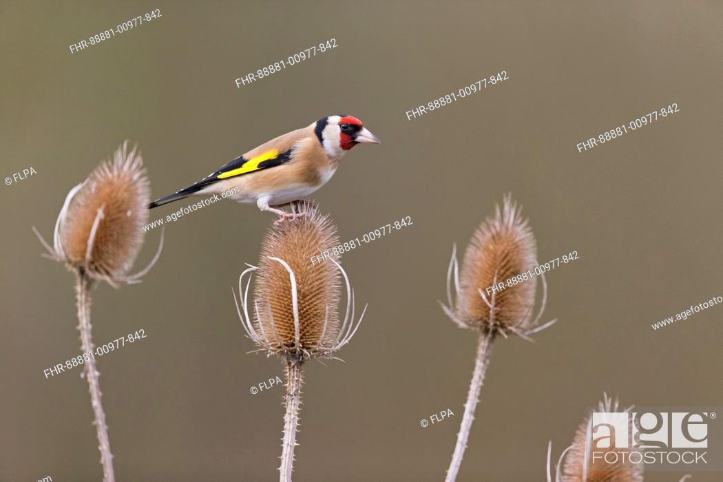 Imagen: European Goldfinch (Carduelis carduelis) adult, perched on teasel seedhead, Suffolk, England, UK, February.