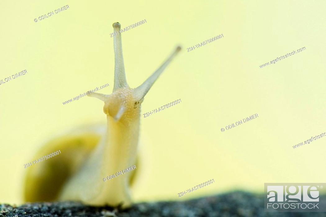 Stock Photo: White-lipped snail cepaea hortensis , close-up.