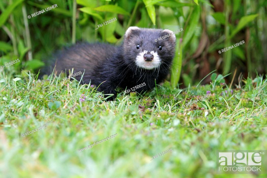 Stock Photo: Polecat Mustela putorius, young animal in garden, Germany.