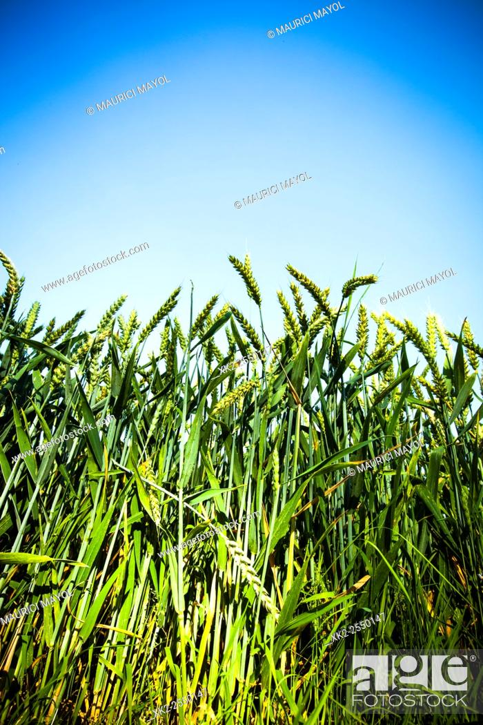 Stock Photo: Growing wheat in Rotterdam, The Nederlands.