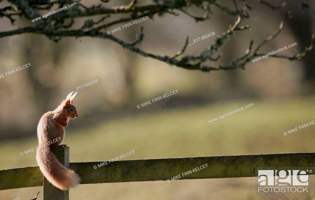 Stock Photo: A red squirrel Sciurus vulgaris in a garden in Scotland.