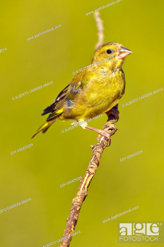Imagen: Greenfinch, Carduelis chloris, Verderón Común, Castilla y León, Spain, Europe.