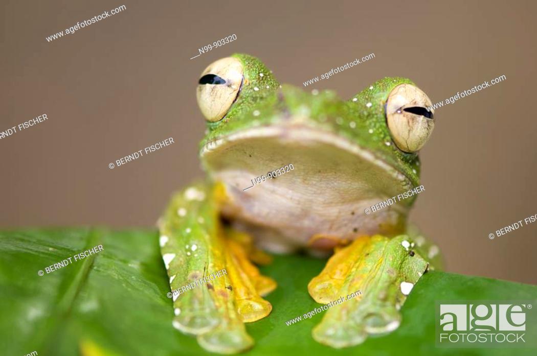 Stock Photo: Wallace`s Flying Frog Rhacophorus nigripalmatus Danum Valley rainforest Sabah Borneo Malaysia.