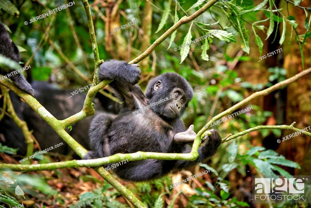 Stock Photo: UGANDA, BUHOMA, 17.02.2015, juvenile mountain gorilla - Buhoma, Uganda, 17/02/2015.