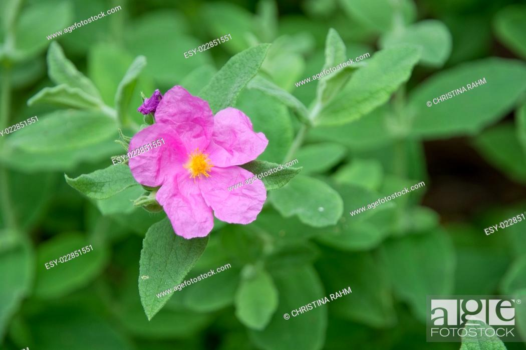 Stock Photo: Pink rock rose with yellow pistils closeup on green leaves.
