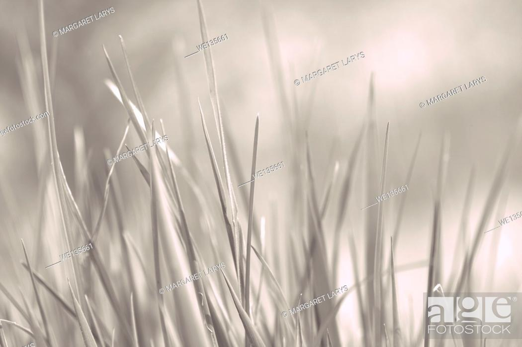 Stock Photo: Young grass close up in grey background.