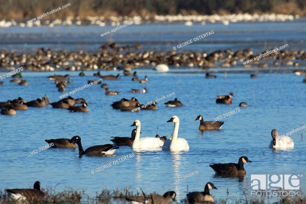 Stock Photo: Canada geese (Branta canadensis) and tundra swans at McFadden Marsh, William Finley National Wildlife Refuge, Oregon.