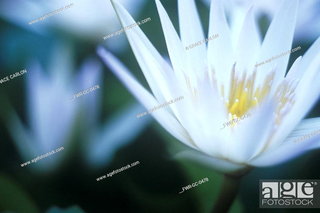 Stock Photo: Nymphaea, Water lily.