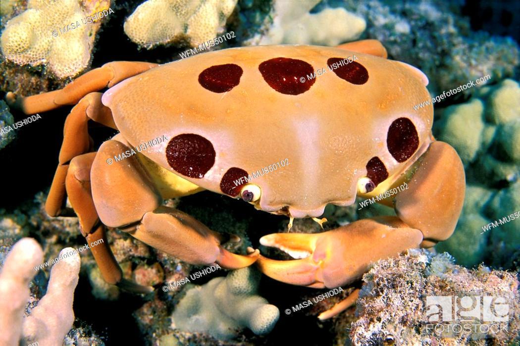 Stock Photo: seven-eleven crab or dark finger coral crab, Carpilius maculatus, Kona, Big Island, Pacific Ocean, Hawaii, USA.