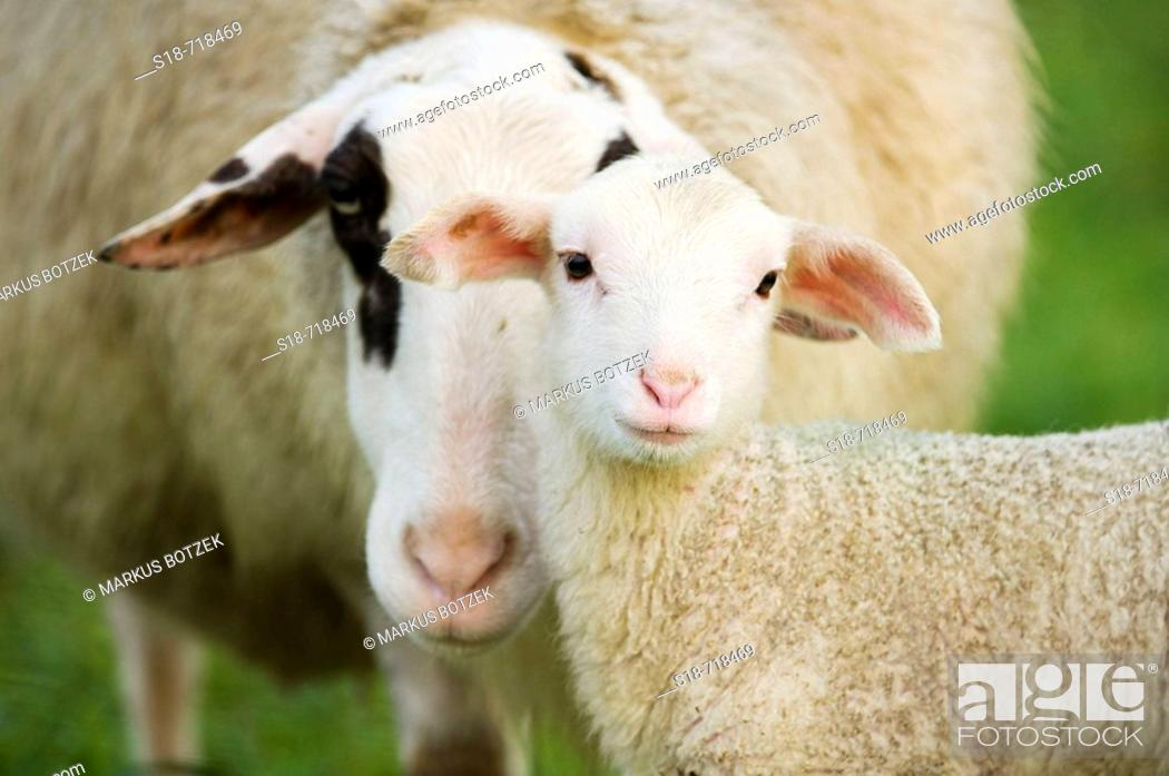 Stock Photo: A sheep looks for contact to her lamb.