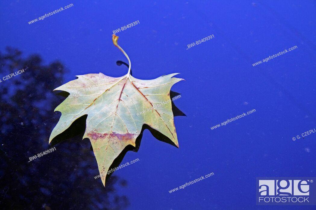 Imagen: European plane, maple-leaved plane, London plane, London planetree (Platanus hispanica, Platanus x hybrida, Platanus hybrida, Platanus acerifolia).