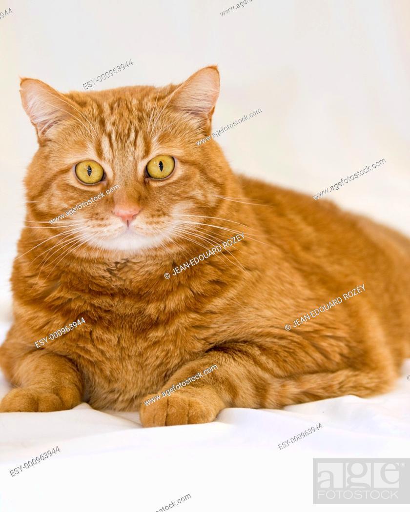 Stock Photo: Close up of a furry orange cat.