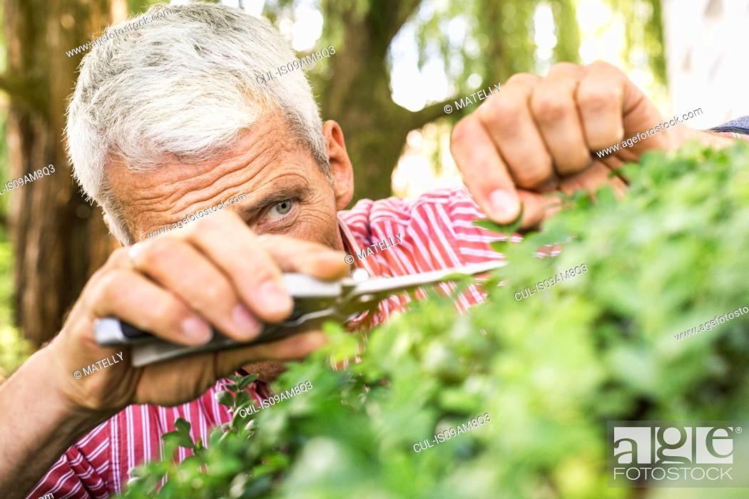 Stock Photo: Mature man pruning bush with secateurs.