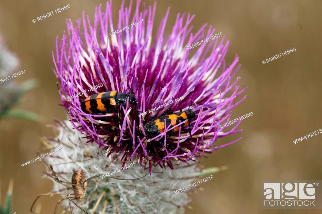 Stock Photo: TRICHODES APIARIUSBEE BEETLE - CHEQUERED BEETLEPAIR EATING FLOWERAVEYRON - FRANCE.