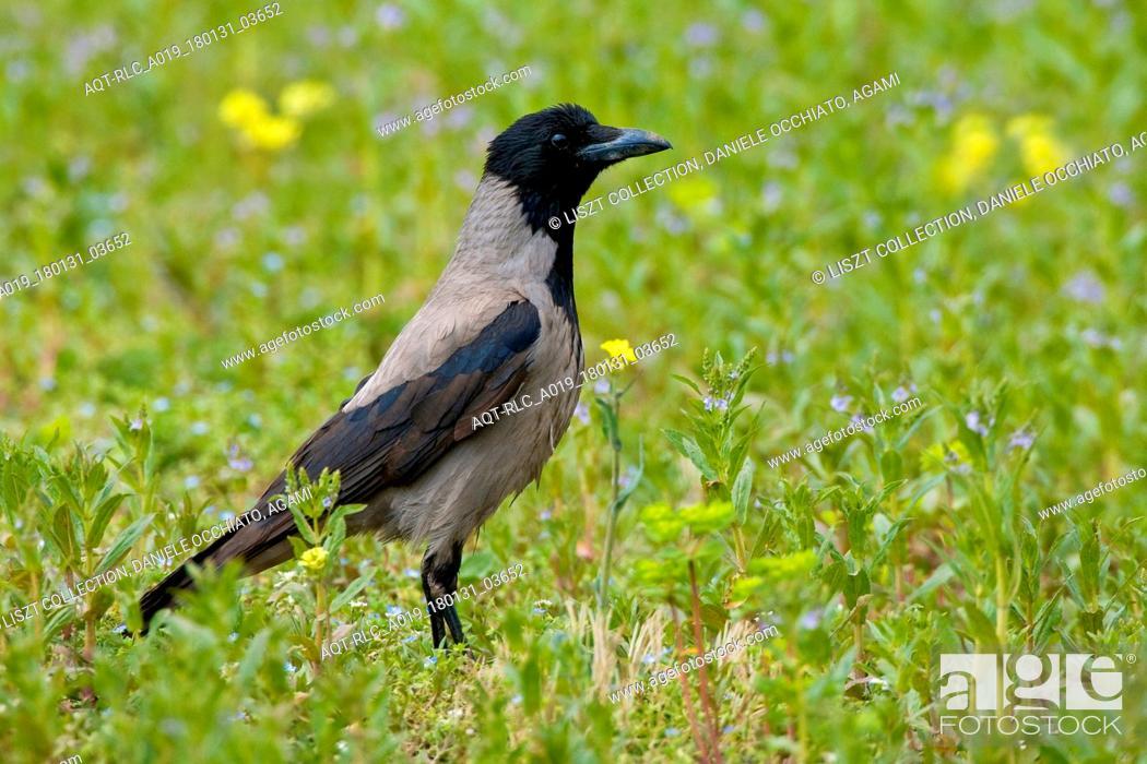 Stock Photo: Hooded Crow on the ground, Hooded Crow, Corvus cornix.