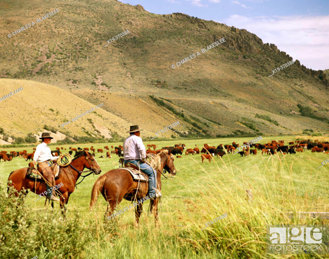 Stock Photo: Cowboys on cattle roundup. Yp Ranch. Elko County. Nevada. USA.