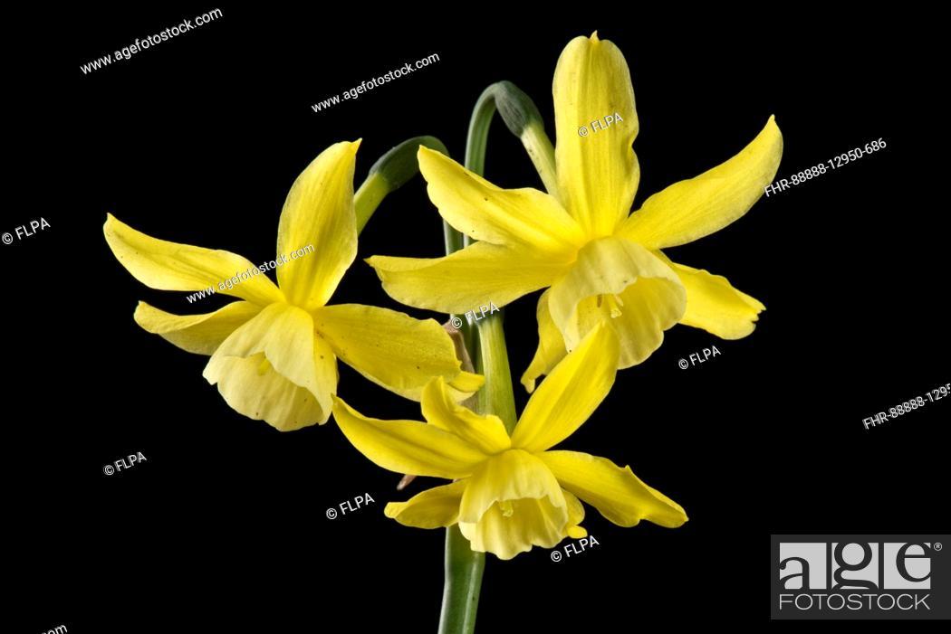 Narcissus hawera dwarf daffodil with several pale nodding pale stock photo narcissus hawera dwarf daffodil with several pale nodding pale yellow flowers april mightylinksfo