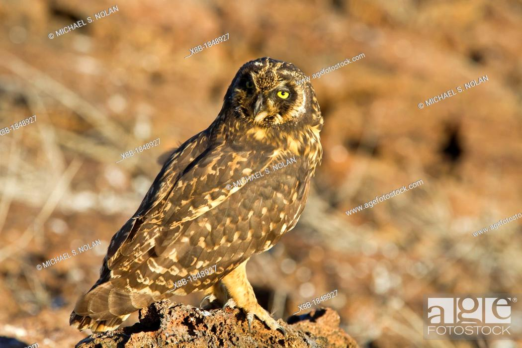 Stock Photo: Galapagos short-eared owl Asio flammeus galapagoensis, on Genovesa Island, Galapagos Islands, Ecuador.