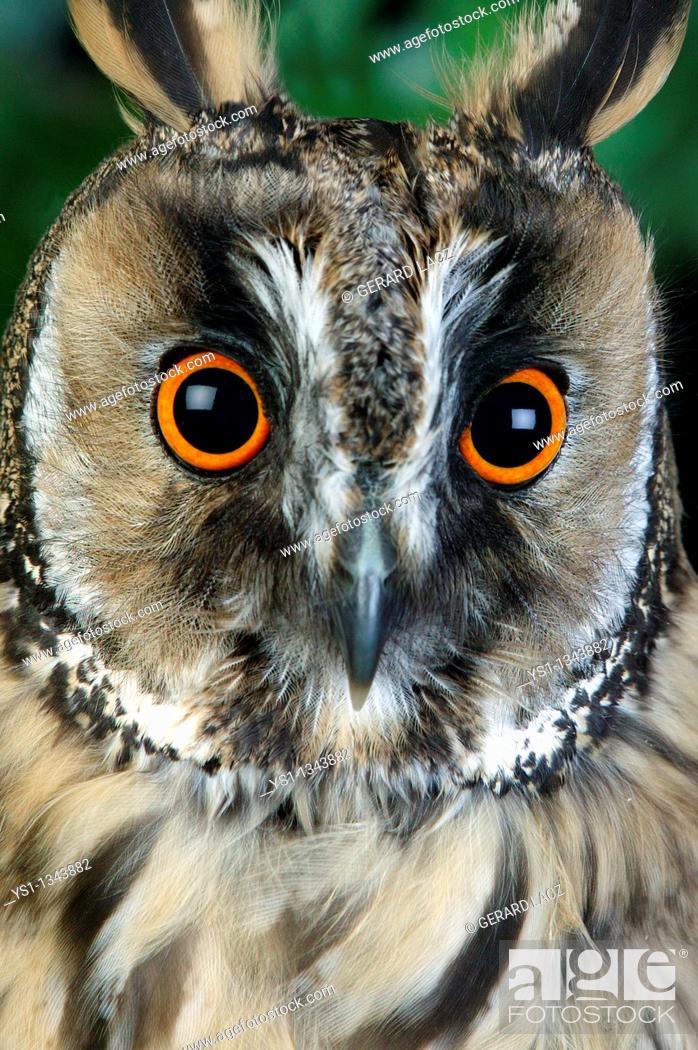 Stock Photo: LONG-EARED OWL asio otus, PORTRAIT OF ADULT, NORMANDY.