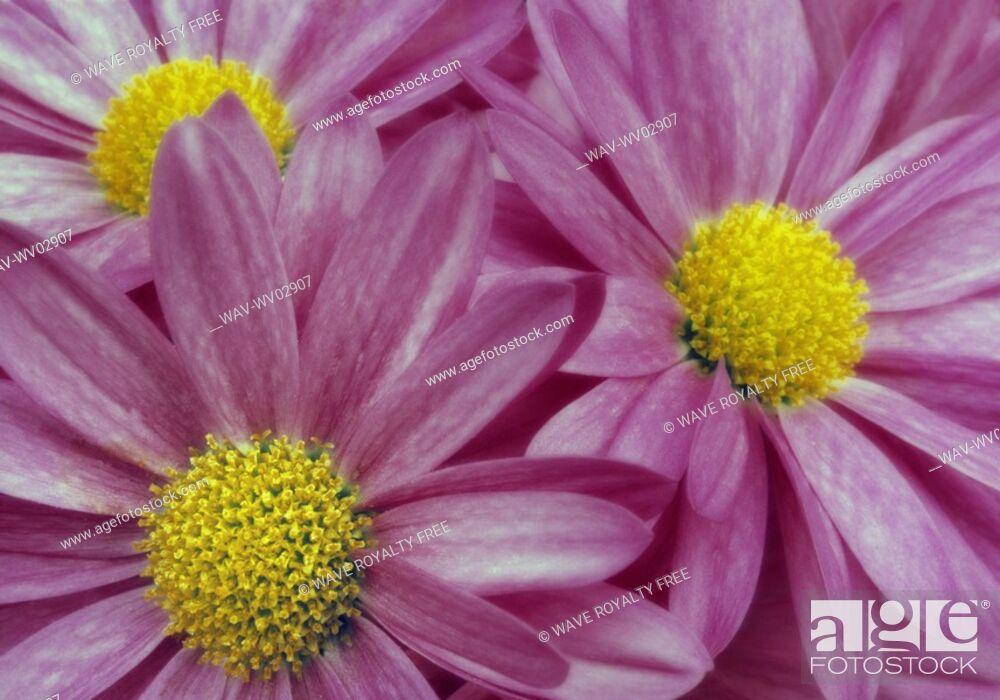 Stock Photo: Close-up pink daisies, Canada, Alberta.
