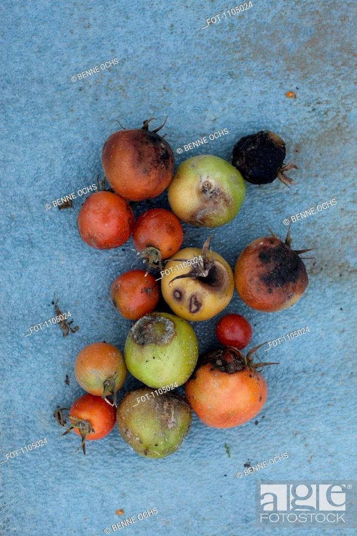 Stock Photo: Rotten tomatoes.