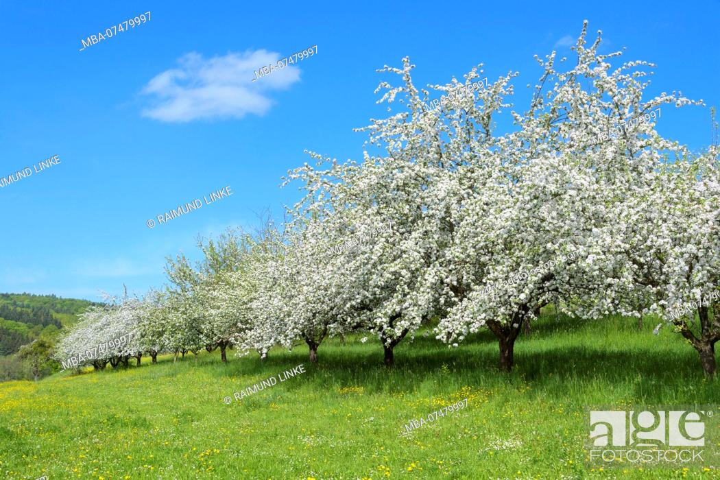 Stock Photo: Blooming apple trees in the meadow in spring, Werbach, Taubertal, Tauberfranken, Main-Tauber-district, Baden-Württemberg, Germany.