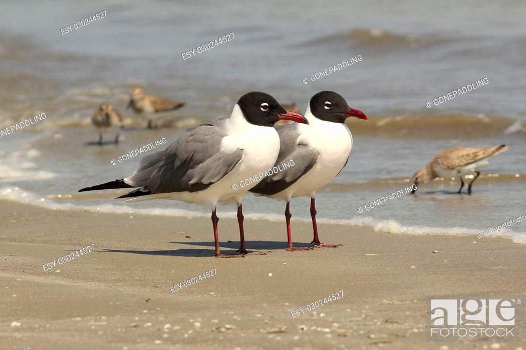 Stock Photo: Pair of Laughing Gulls (Larus atricilla) on the Beach - Cumberland Island National Seashore, Georgia.