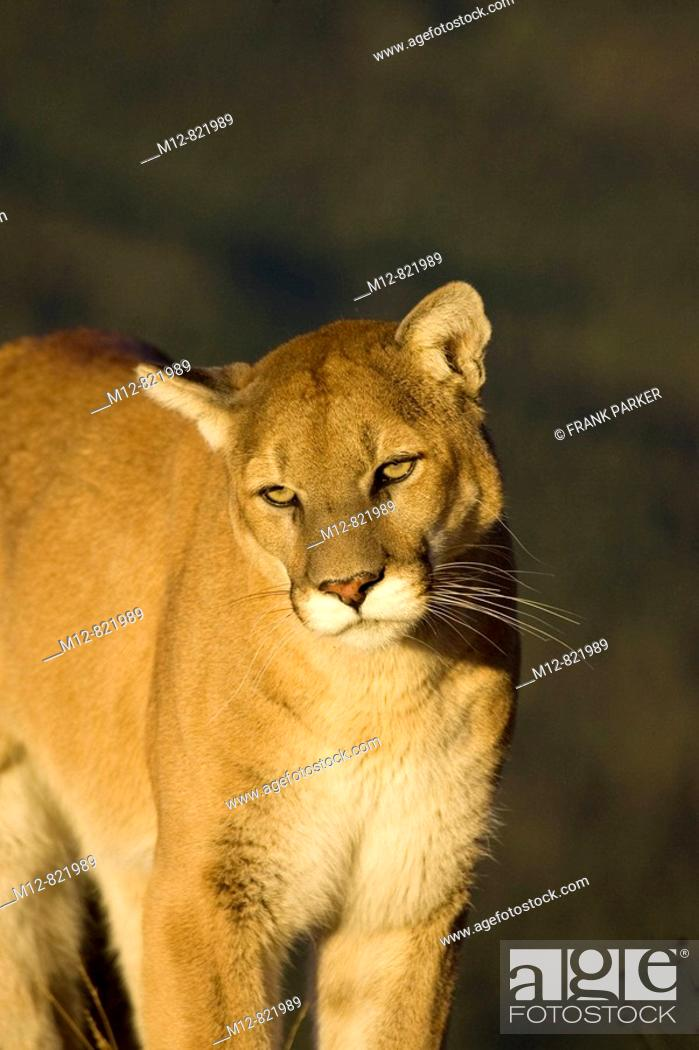Stock Photo: Mountain Lion stands on a rocky outcrop.