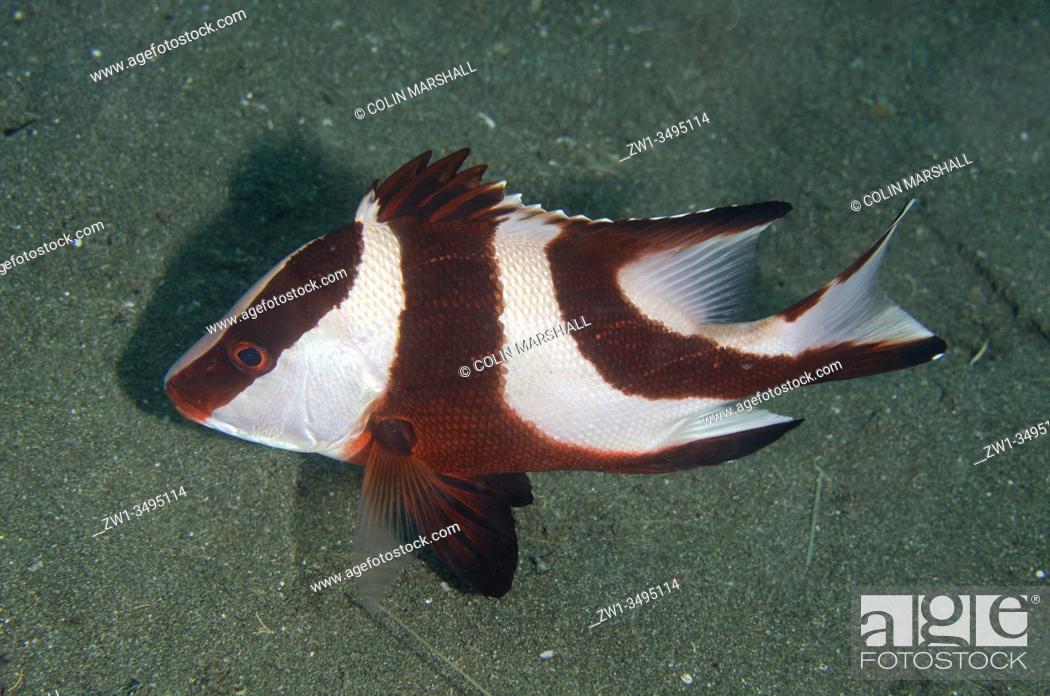 Stock Photo: Red Emperor Snapper (Lutjanus sebae), Kobe Reef dive site, Weda, Halmahera, North Maluku, Indonesia, Halmahera Sea.